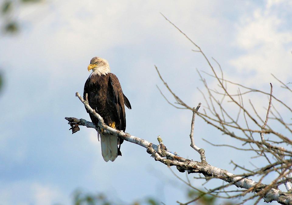 Free Photo Birds Of Prey Eagle American Symbol Bald Eagle Max Pixel