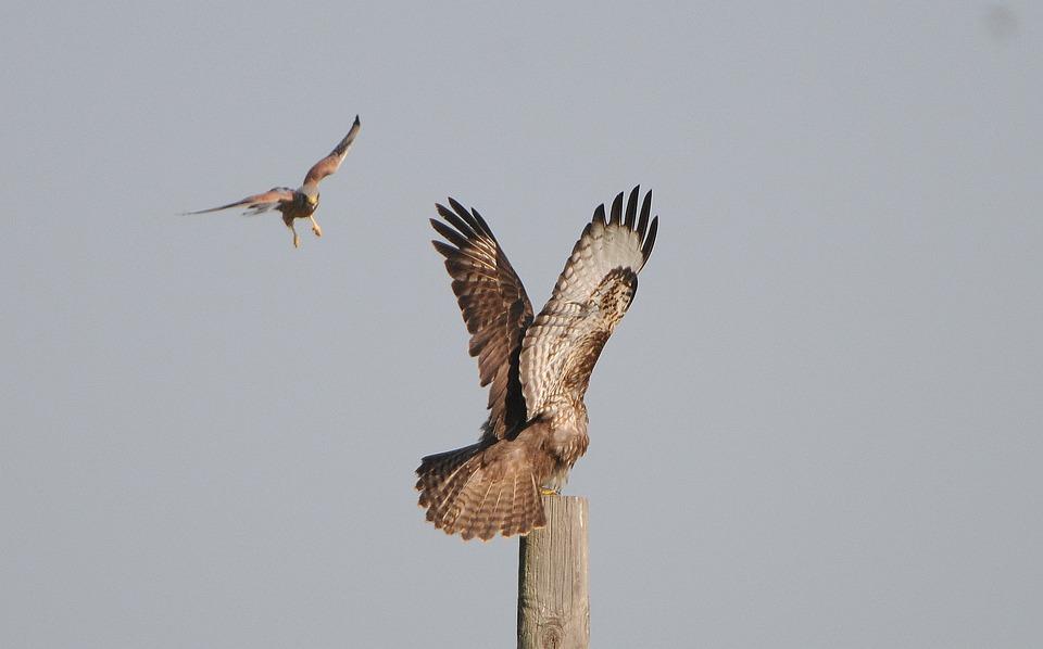 Birds Of Prey, Meeting, Nest
