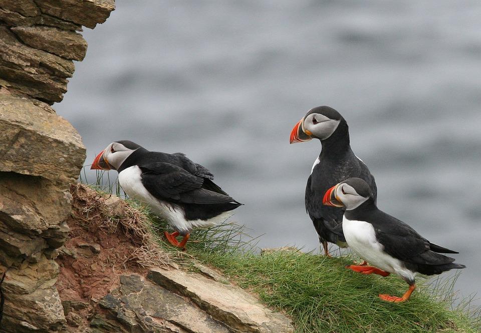 Puffin, Birds, Group, Coast, Cliff, Wait, Bill, Orange