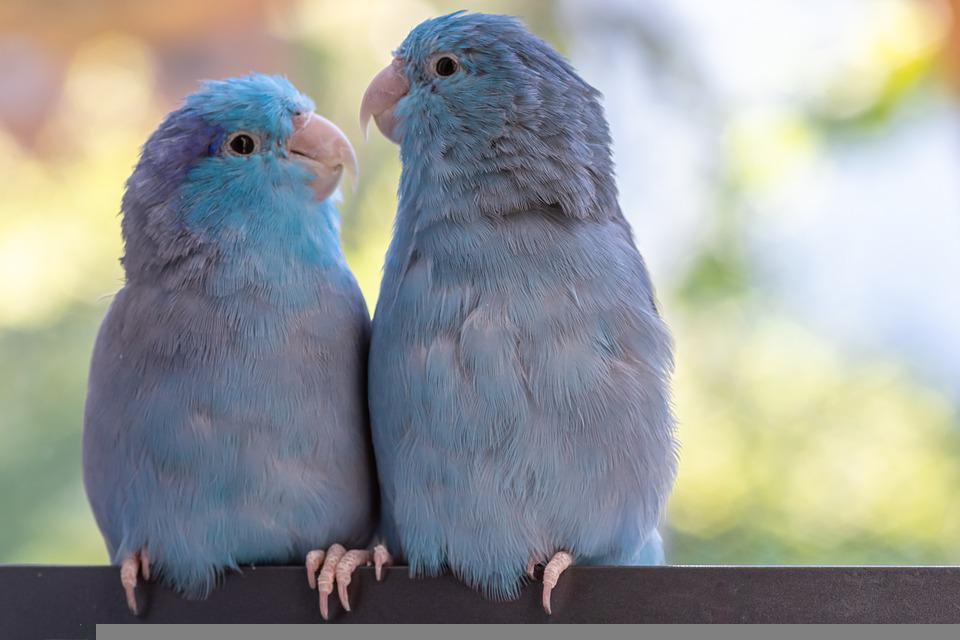 Parrots, Pair, Birds, The World Of Animals, Parakeet