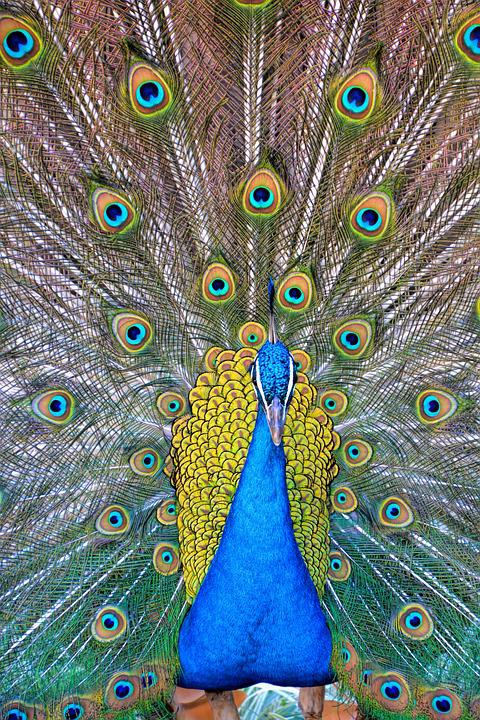 Peacock, Peacock Feathers, Birds, Blue, Green, Pattern
