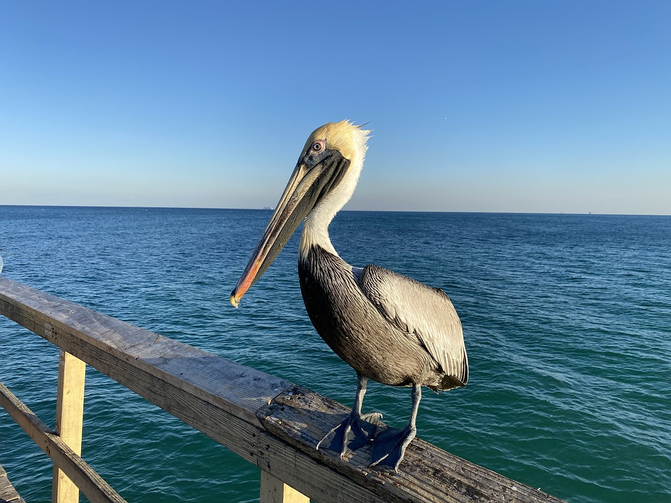 Ocean, Pelican, Bird, Sea, Wild, Birds, Beak, Feathers