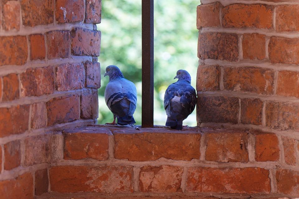 Doves, Birds, Wall, Pigeons, Animals, Window, Brick