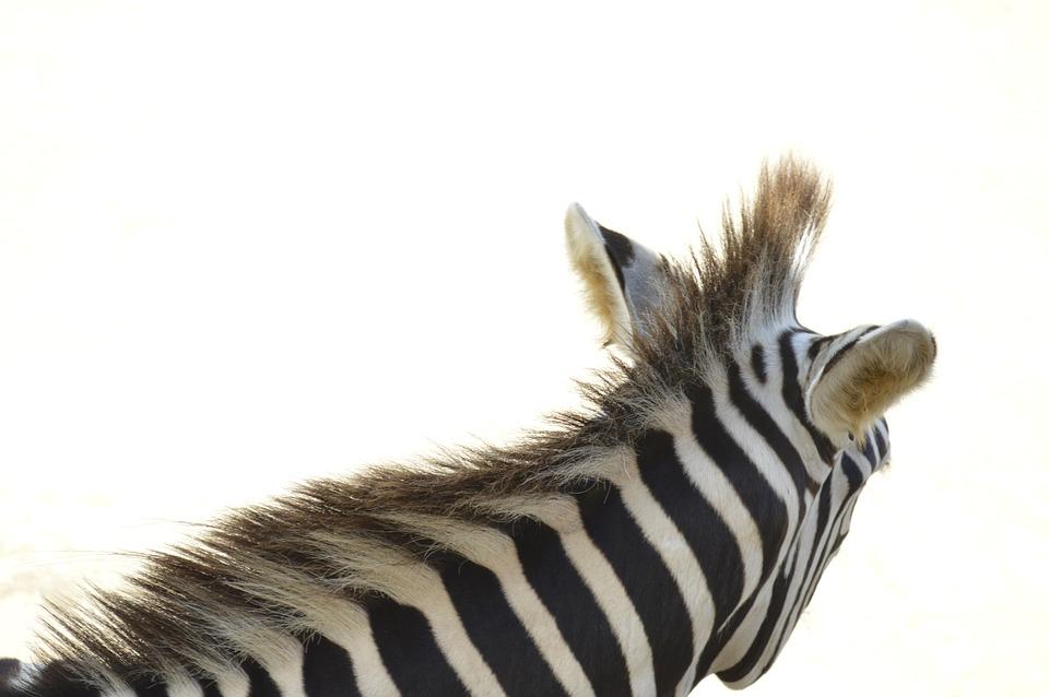 Zebra, Animal, Animals, Birds, Africa, Plumage, Stripes