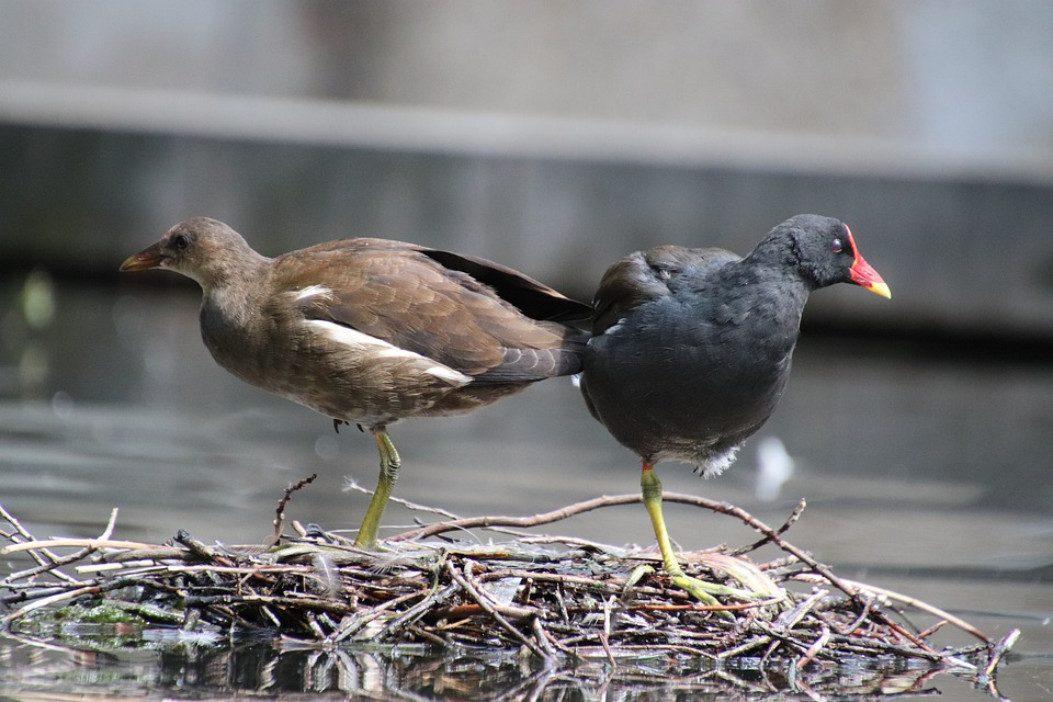 Water Hens, Birds, Aquatic Birds, Animals, Pond, Basin