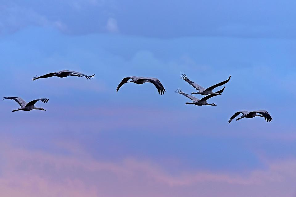 Cranes, Birds, Roosting Flight, Blue Hour