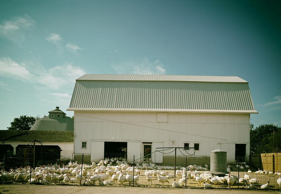 Turkey Farm, Turkeys, Farm, Illinois, Birds, Rural, Sky