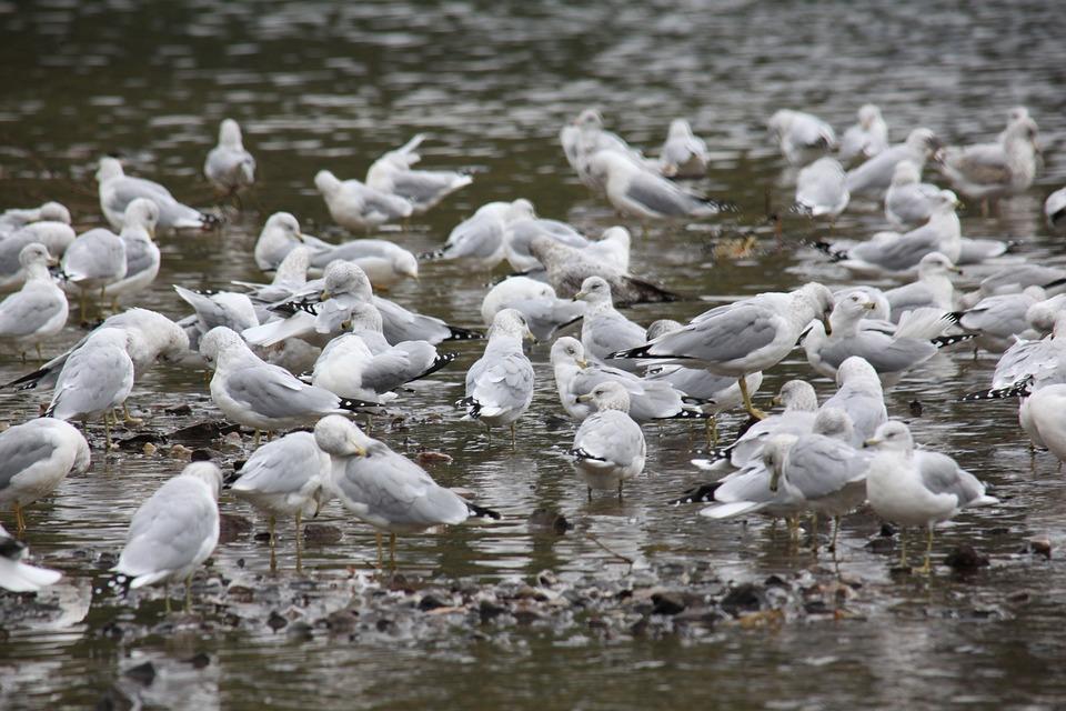 Sea Gulls, Birds, Animals, Devils Lake, Outdoors