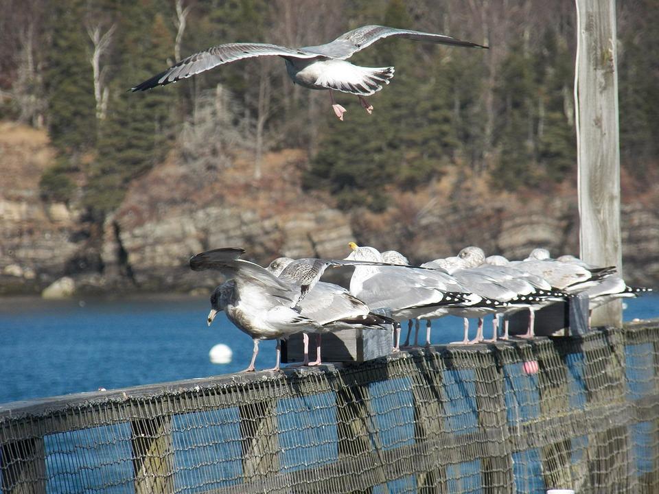 Seagull, Seagulls, Bird, Birds, Feather, Feathers