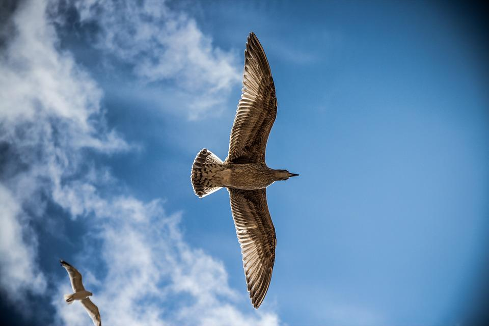 Seagulls, Flight, Birds, Sky, Nature, Gulls, Wildlife