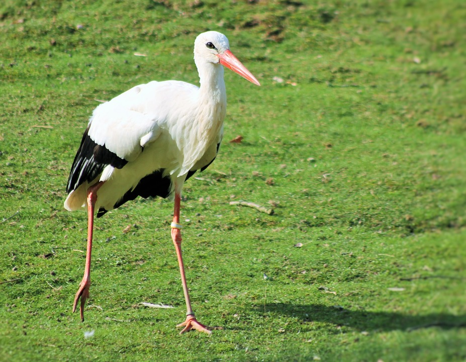 Stork, Birds, Animal Picture, Nature