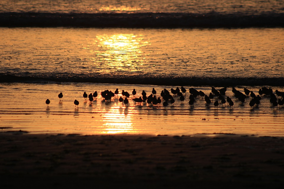 Birds, Sea, Beach, Sunset, Water, Ocean, Redshanks