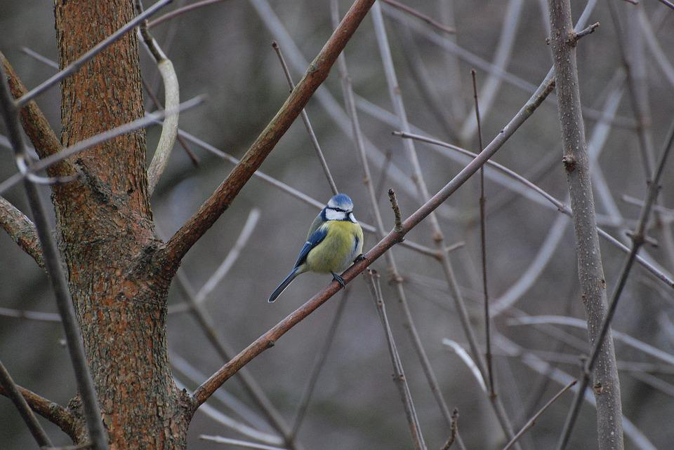Chickadee, Birds, Nature, Natural, Forest, Yellow, Tree