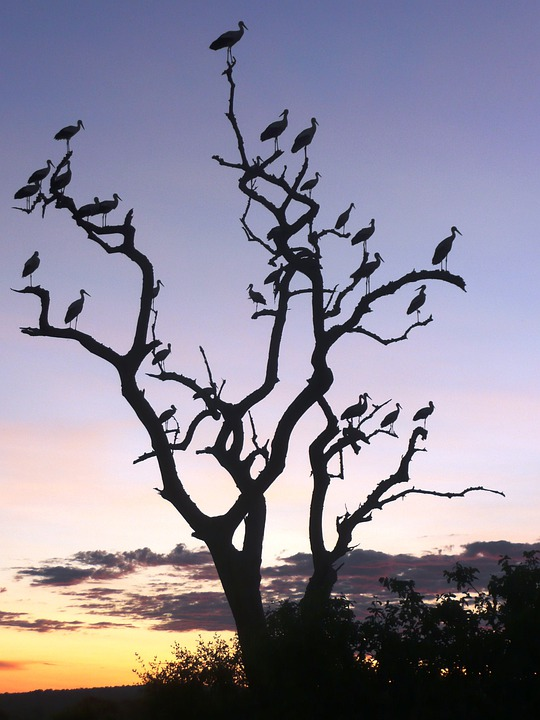 Tarangire, Safari, Tree, Africa, Sunset, Birds