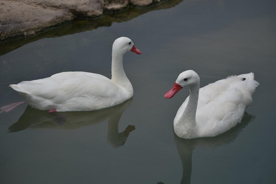 Two Swans, Ducks, Birds, White Ducks, Lake, Animals