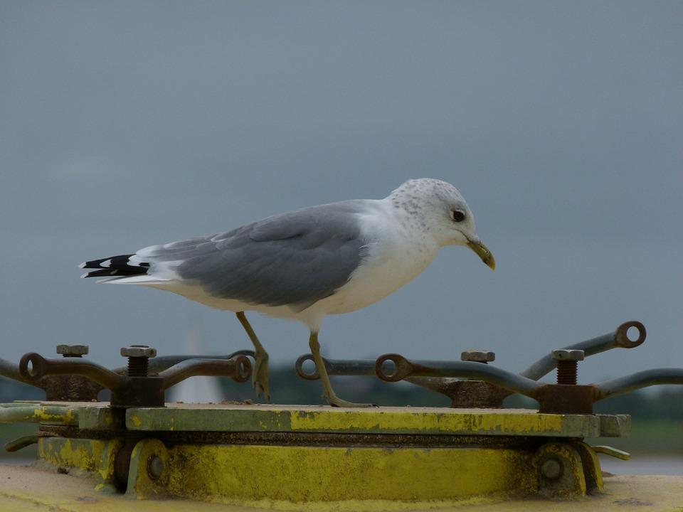 Gull, Bird, Sea, Birds, Water Bird