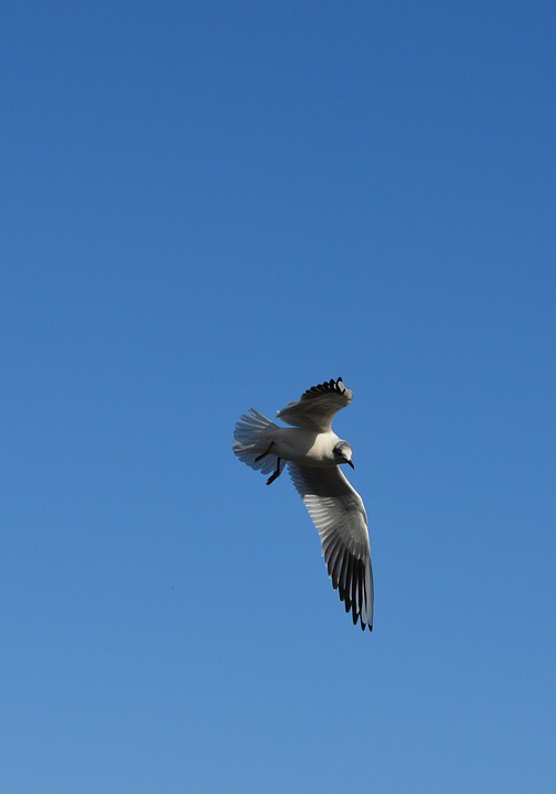 Seagull, Birds, Fly, Water Bird