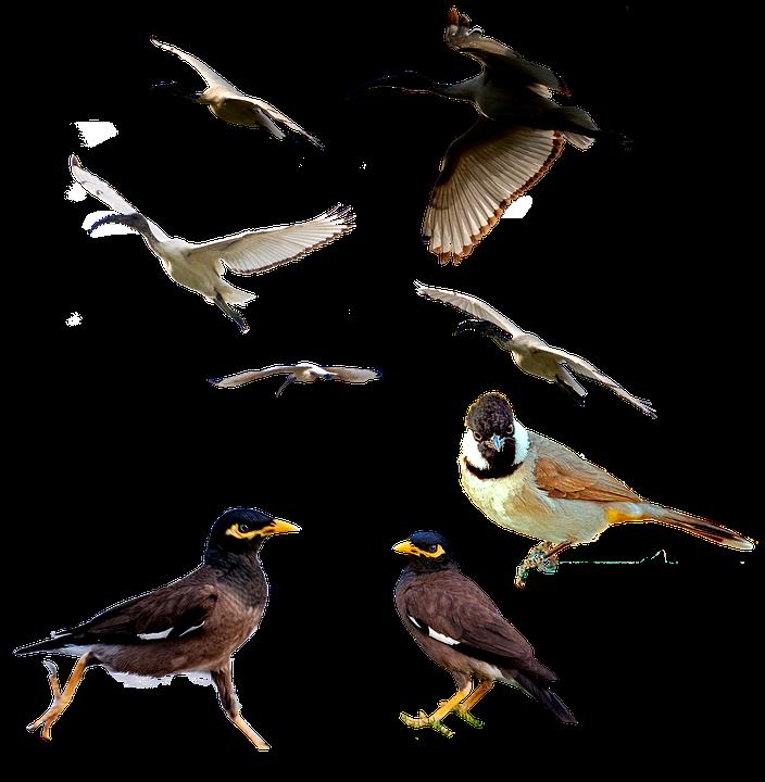 Birds, Mina Bird, Animal, White Ibis