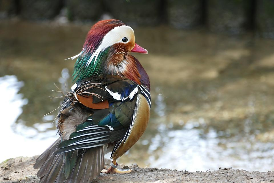 Mandarin Duck, Birds, Mandarin, Nature, Wild, Wildlife