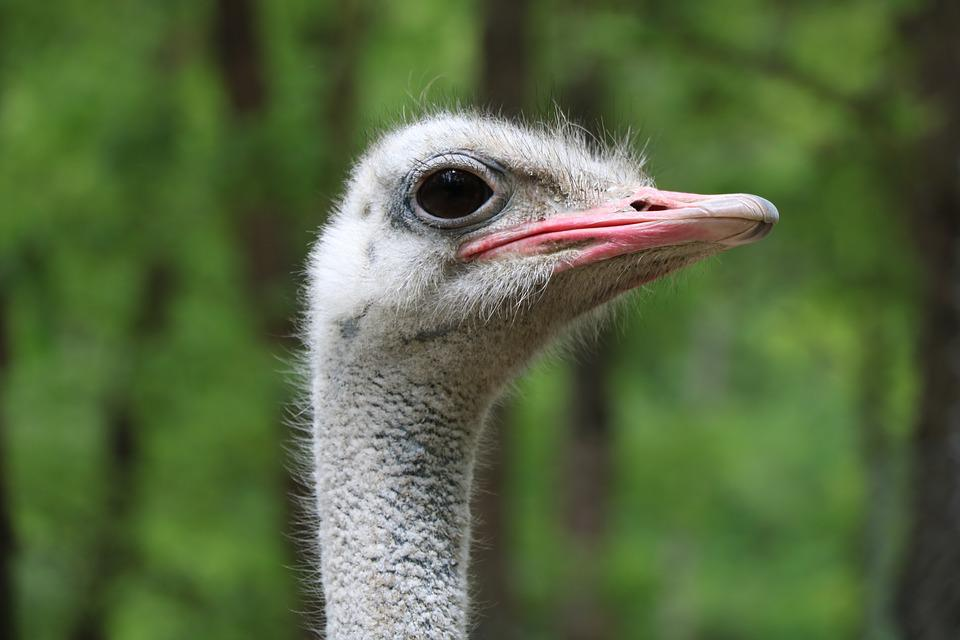 Ostrich, Birds, Wildlife, Neck, Animals, Feather