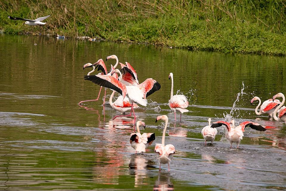 Birds, Flamingo, Wildlife, Feather, Flying, Fly, Flock