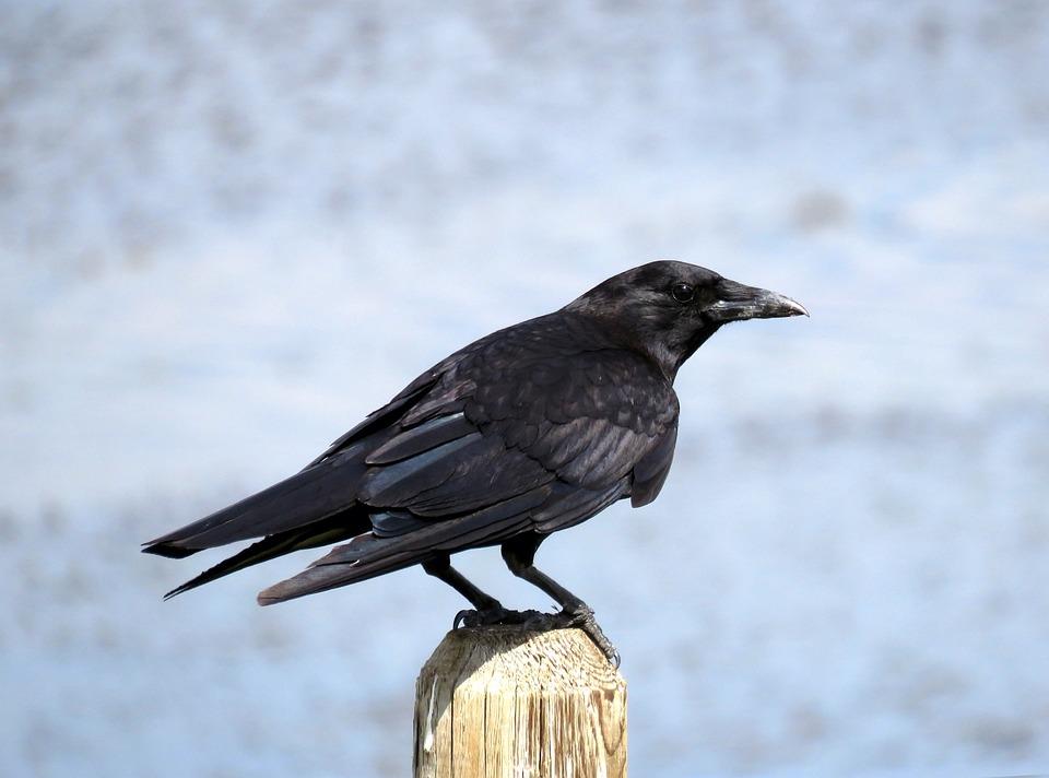 Crow, Birding, Birdwatching, Bird