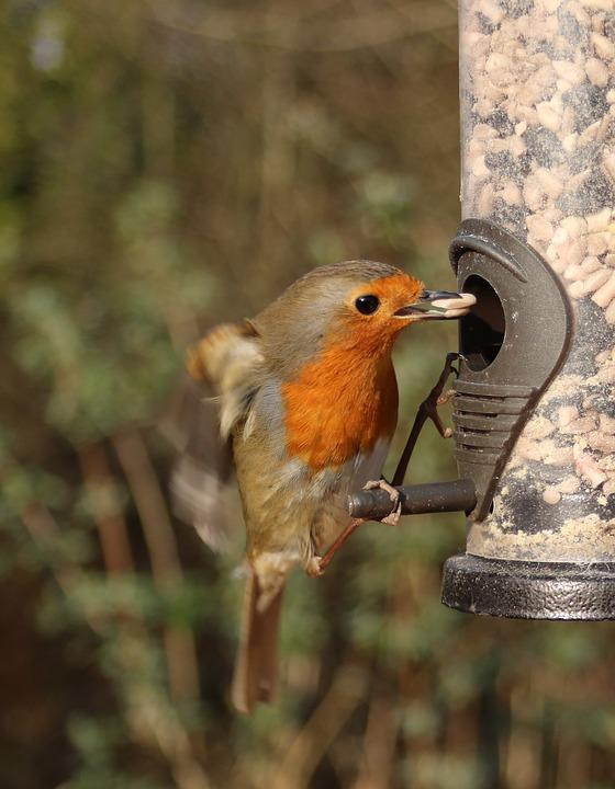 Robin, Flying, Feeder, Bird, Flight, Birdwatching