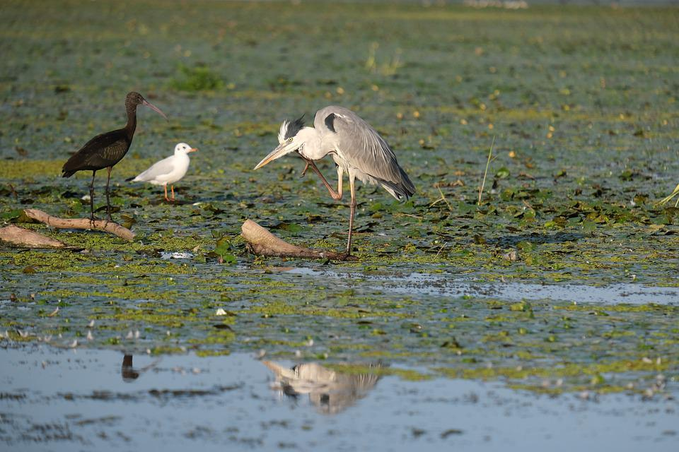 Grey Heron, Birdwatching, Danube Delta, Romania