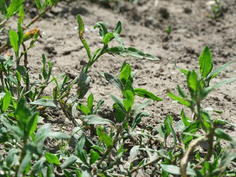 Polygonum Aviculare, Common Knotgrass, Birdweed