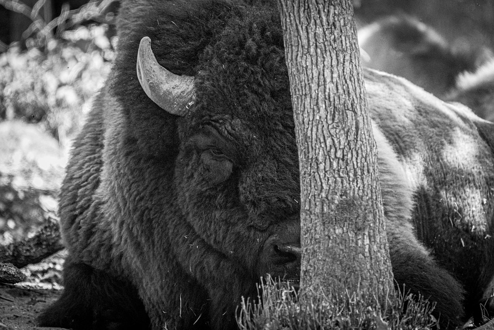 Bison, Animal, Safari, Mammal, Wild Animal, Wildlife