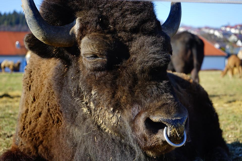 Wisent, European Bison, Bison, Bison Bonasus, Beef