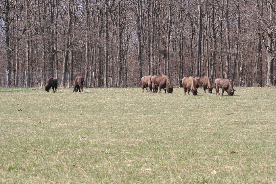 Bison Oxen, European, Bornholm