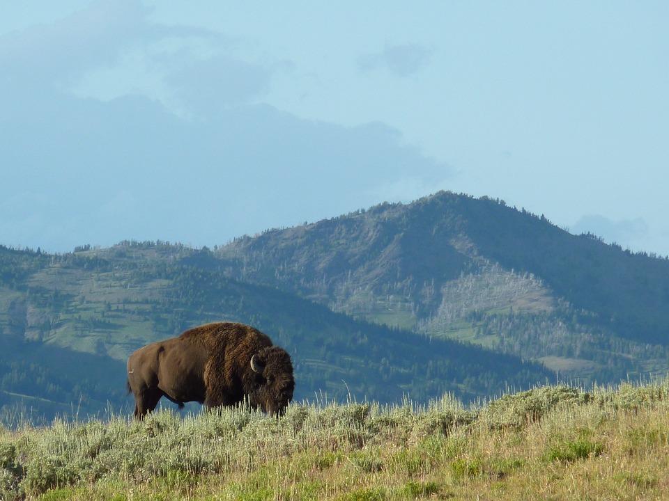 Yellowstone National Park, Bison, Wyoming, Usa
