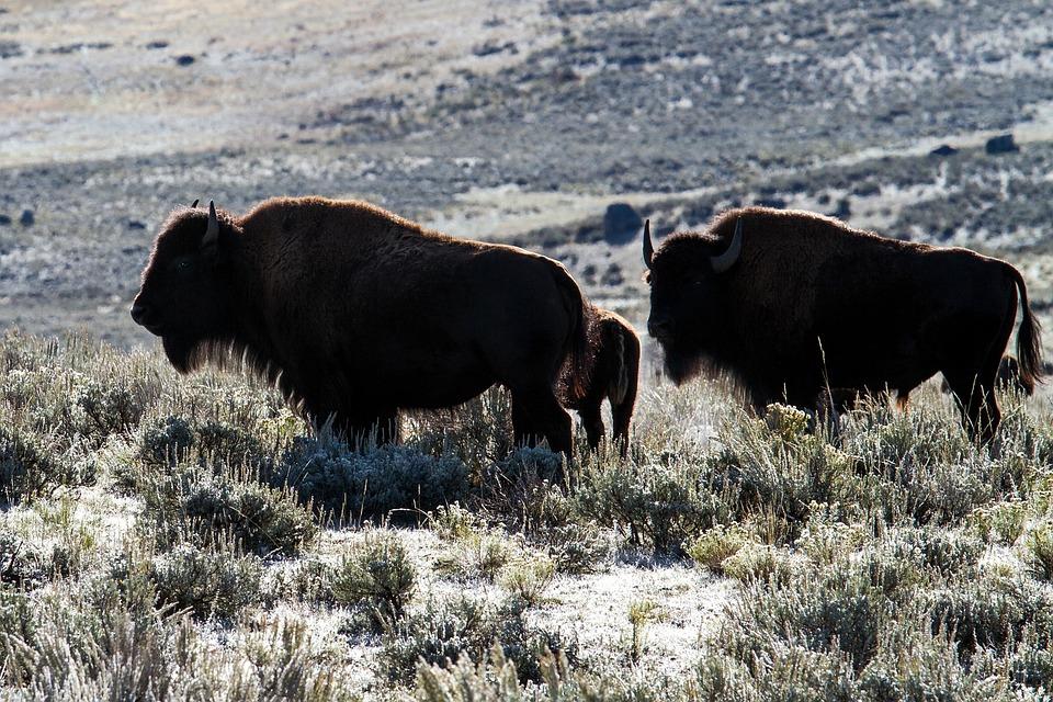 Yellowstone National Park, Wyoming, Usa, Bison