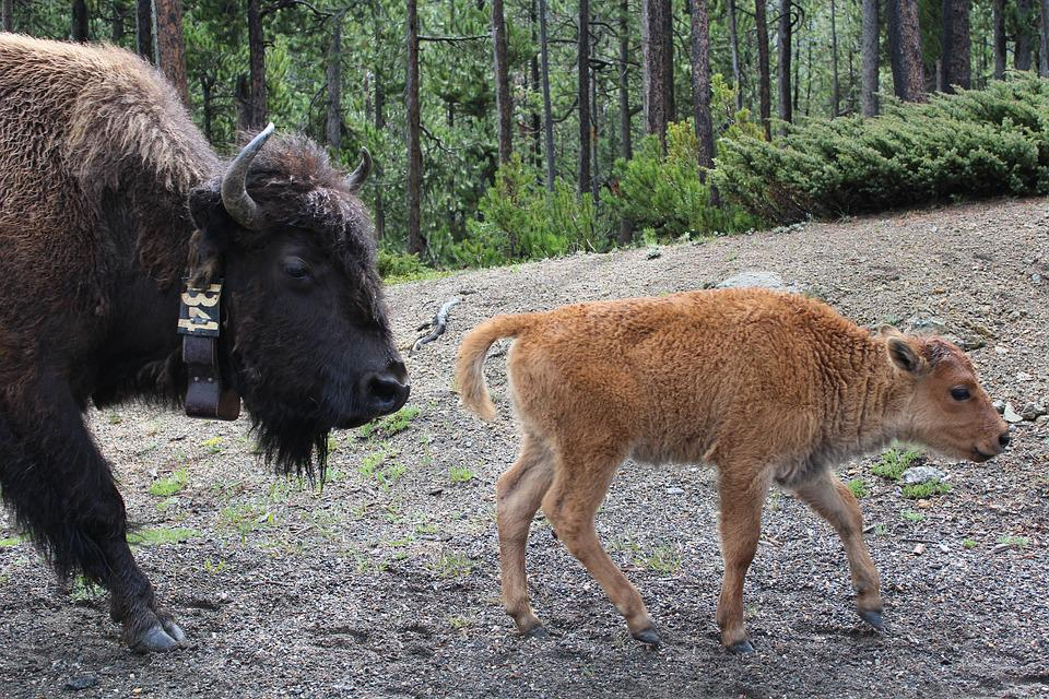 Yellowstone, Park, National, Wyoming, Travel, Bison