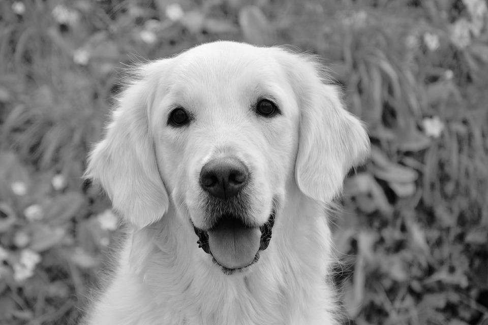 Dog, Bitch Mollie, Photo Black White, Dog Portrait