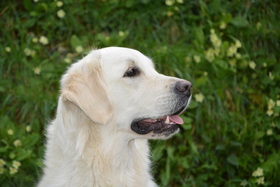 Dog, Profile Of Dog, Golden Retriever, Bitch Mollie