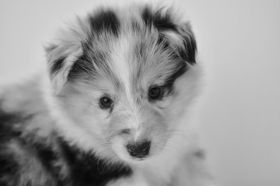 Puppy, Bitch Shetland Sheepdog
