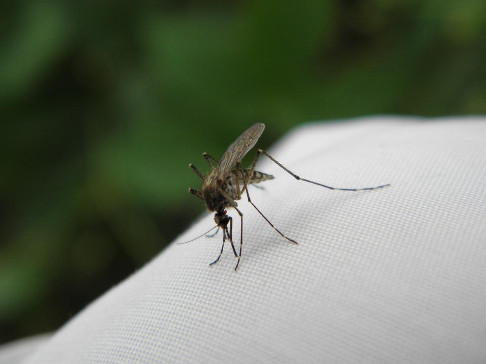 Komar, Bite, Insect, Closeup, Macro, Bites, Nature