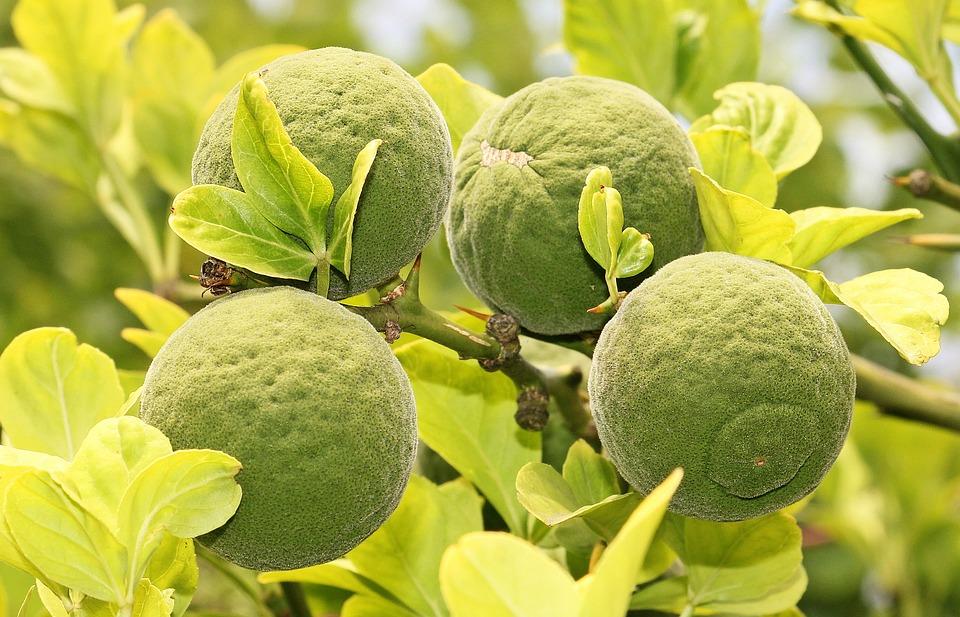 Trifoliate Orange, Bitter Orange, Bitter Lemon, Tree