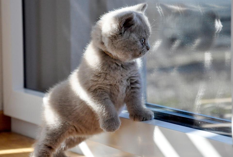 Kittens, British Shorthair, Cat Baby, Azzurro, Bkh