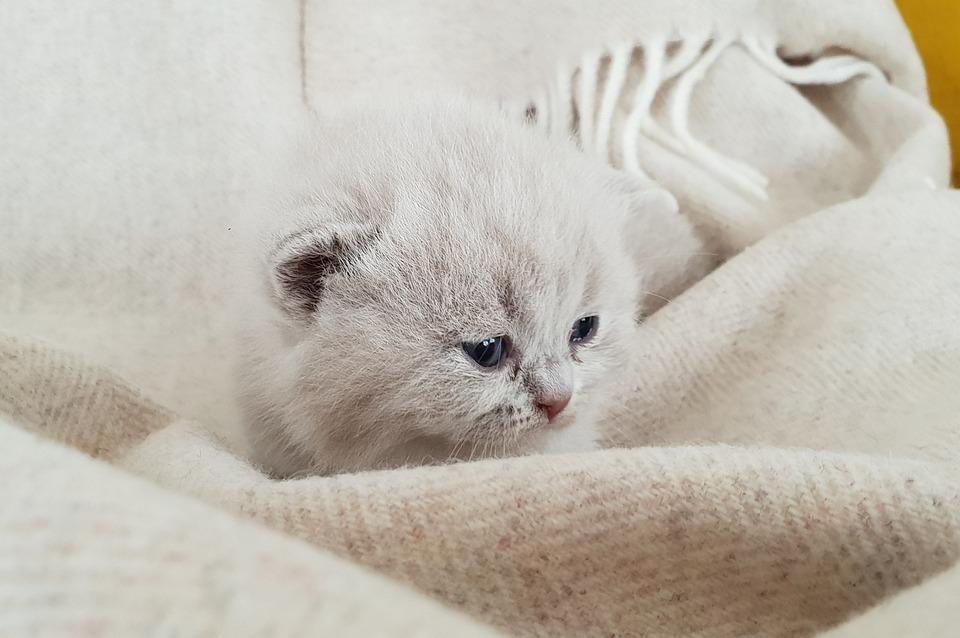 Kittens, Cat Baby, British Shorthair, Bkh
