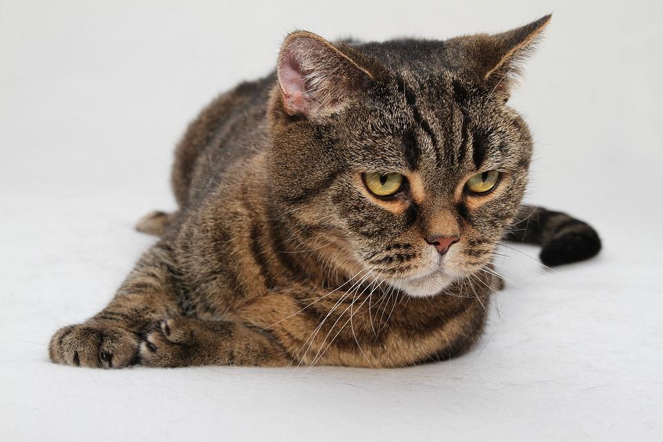 Cat, Cat's Eyes, Domestic Cat, Mackerel, Cat Face, Bkh