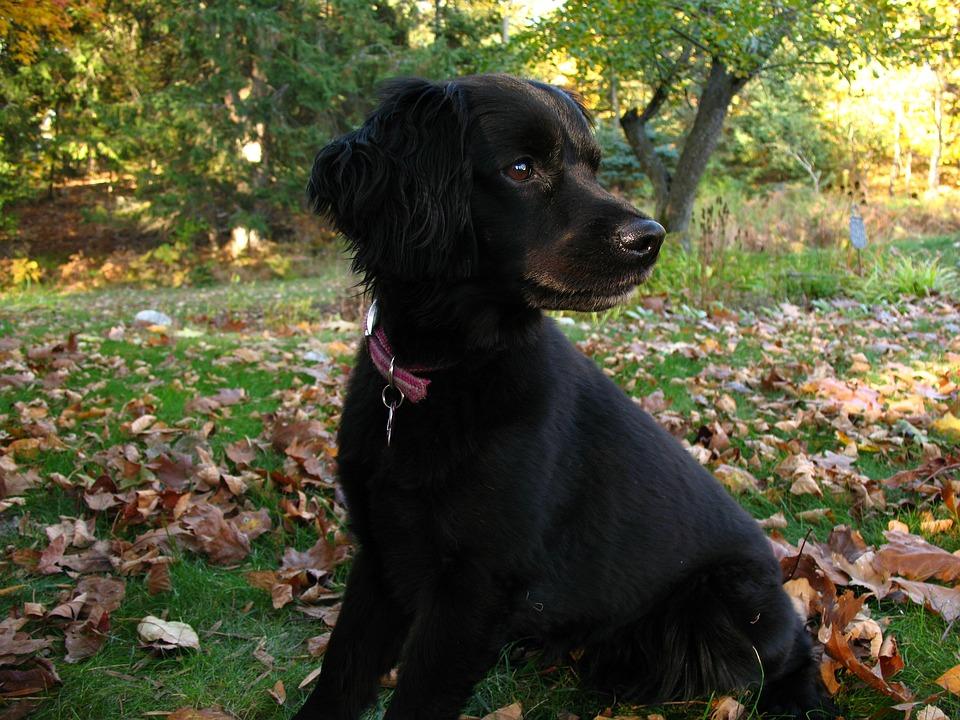 Dog, Black, Adorable, Young, Pet, Animal, Happy