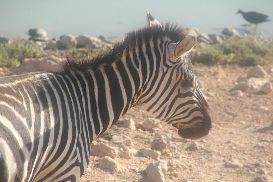 Zebra, Zoo, Animal, Africa, Safari, Black, Nature, Love