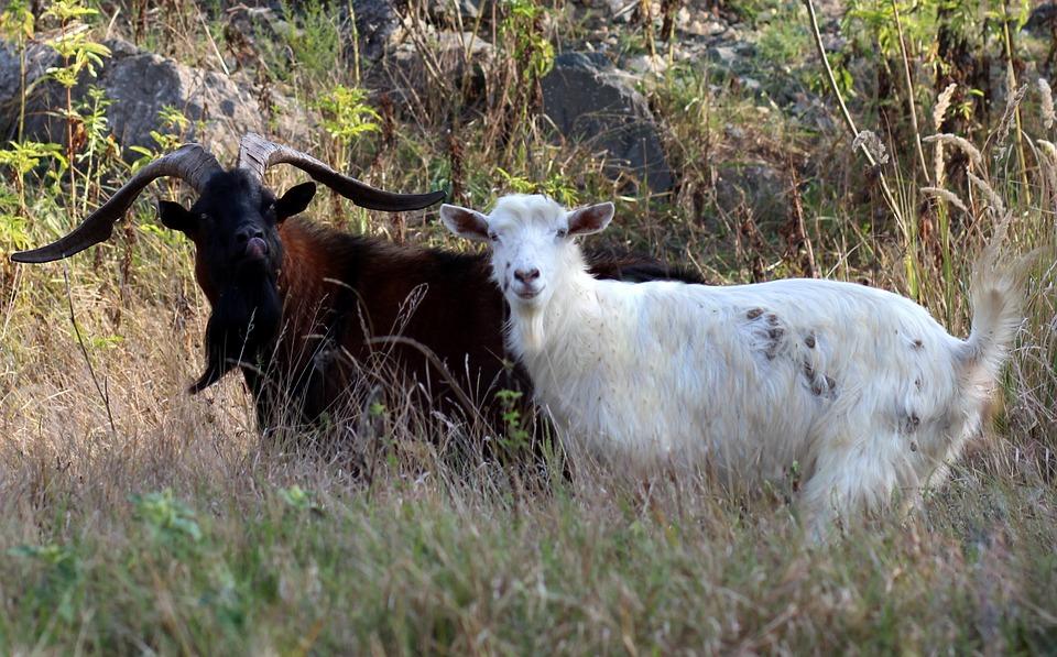 Pair, Capra, Alpina, French, Black, Tap, Pet, Horns