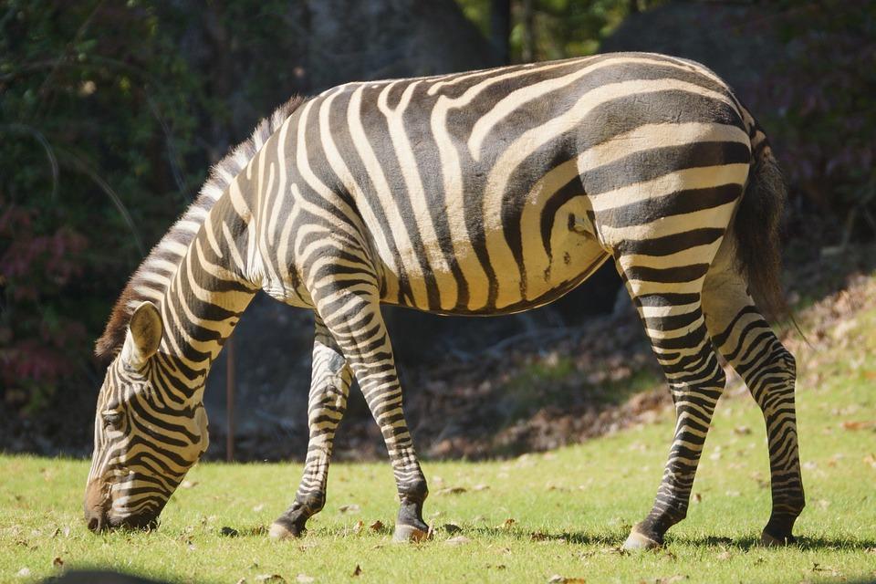 Zebra, Stripes, Black And White, Animal, Safari