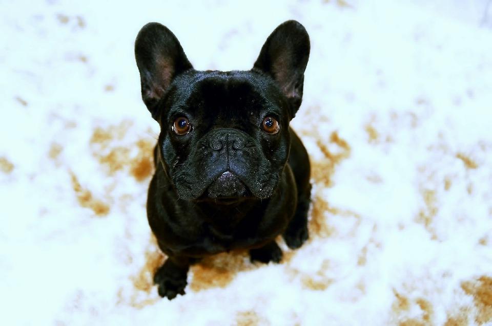 Bulldog, Puppy, Pet, Black And White, Dog, Animals