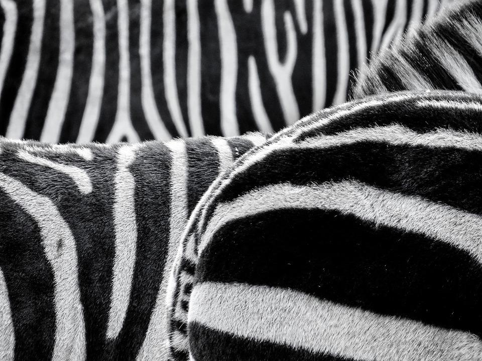 Zebra, Zebra Crossing, Animals, Black And White