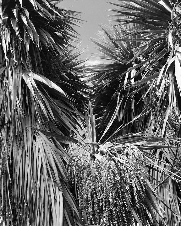 Cabbage Trees, Black And White, Garden, Aotearoa